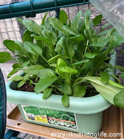 育てやすい葉物野菜ほうれん草