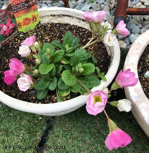 多年草ジュリアンの花が咲き始めて約2週間後
