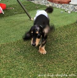 椎間板ヘルニア治療完了から1年半 ミニチュアダックスReeくん 飛行犬に挑戦