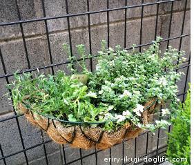 ハンギングに植えたブラキカム、タイムとノースポールも成長中