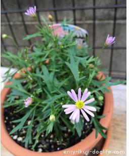 ブラキカムマウブディライト紫色