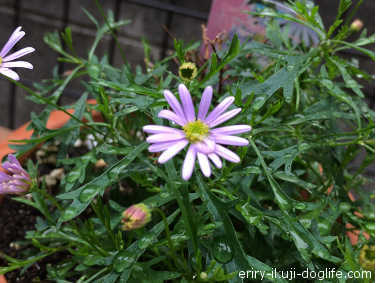 ブラキカムマウブディライト元気に紫色のお花が咲いています