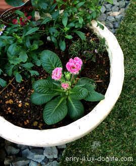 ジュリアン数日後、ピンク色のお花が咲いています