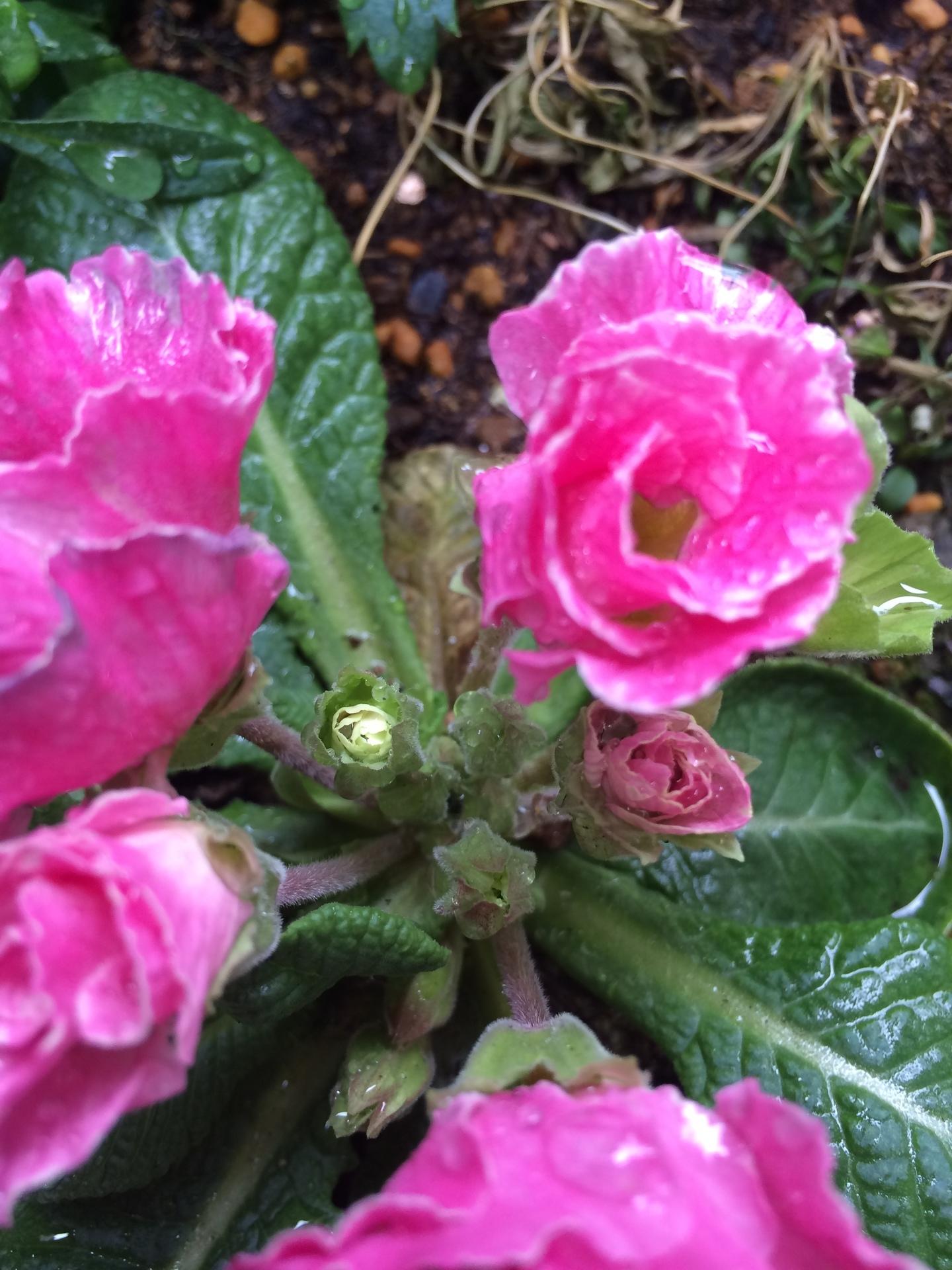 フリルのような花びらがかわいいジュリアン