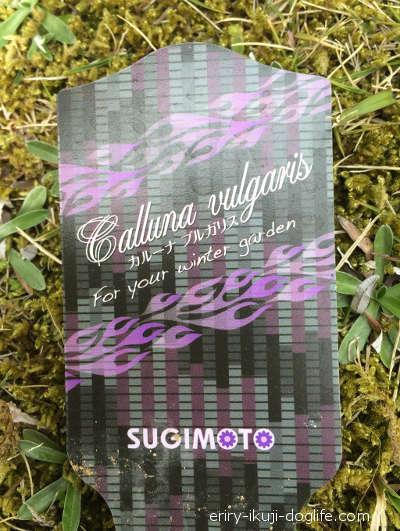 常緑低木のカルーナブルガリス