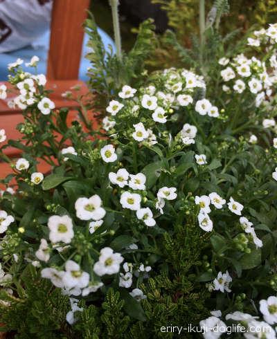 小さな白い花がかわいいアリッサム