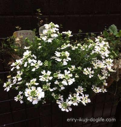 暖かくなって白いお花が咲き始めたイベリス
