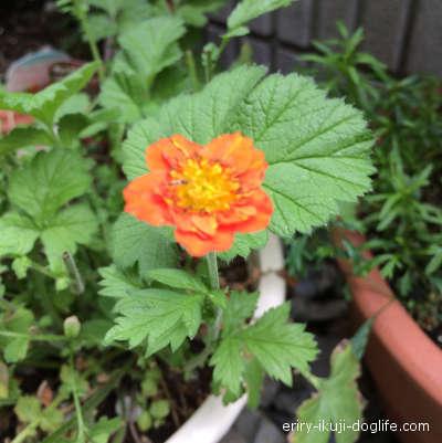オレンジ色のダイコンソウの花