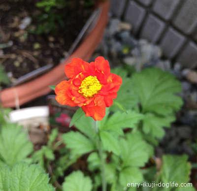 きれいなオレンジ色のダイコンソウの花