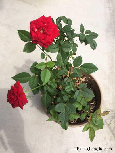 赤いミニバラが2輪咲いています