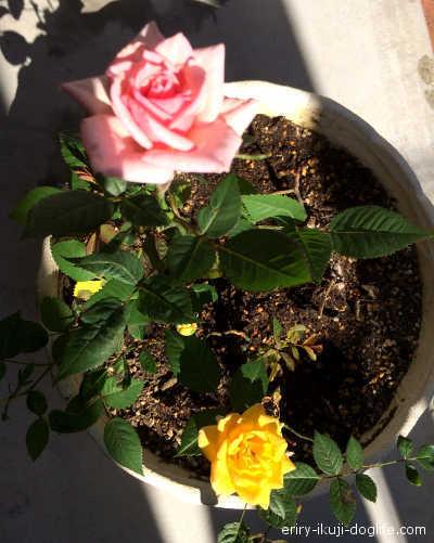 オレンジとピンクのミニバラ