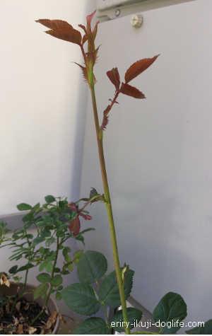 新芽が伸びてぐんぐんと成長しているピンクのバラの花