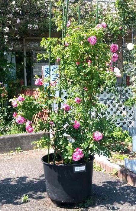 のじりこぴあ バラ園 近くで見たバラの木