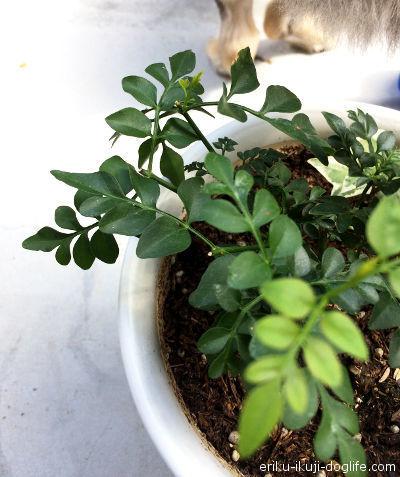 伸びていた2本の茎を切って新芽の成長を促します