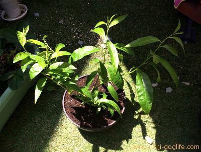 夜香木ジャスミン植え付け後