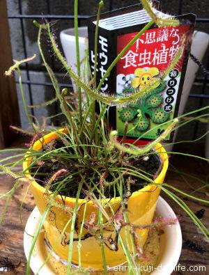食虫植物のモウセンゴケ