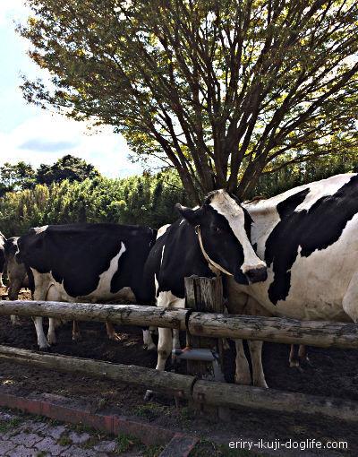 高千穂牧場たくさんの牛が見られます