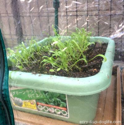 育てやすい野菜ほうれんそうの成長