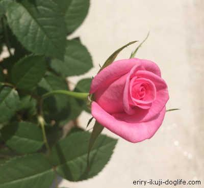 普通のバラの花